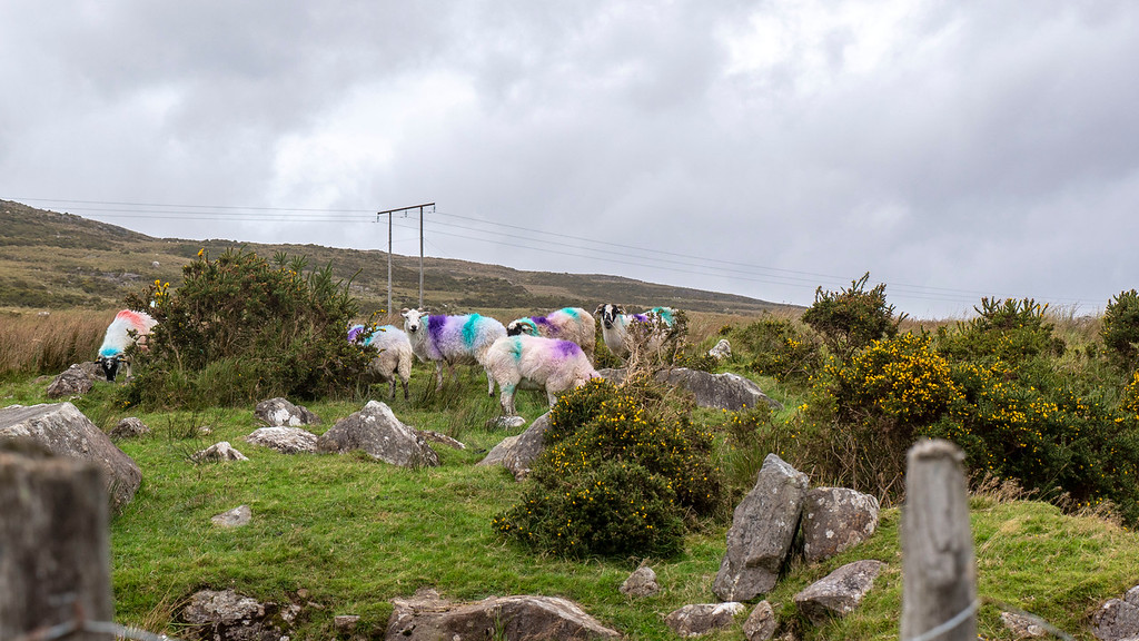 Sheep at the Ballaghisheen Pass