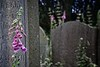 Foxgloves & Headstone