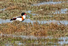 Shelduck duck at Bull Island Wetlands