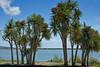 Palm trees at Bull Island ~ outside Dublin, Ireland