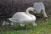 Mute Swan with chicks ~ Dublin, Ireland