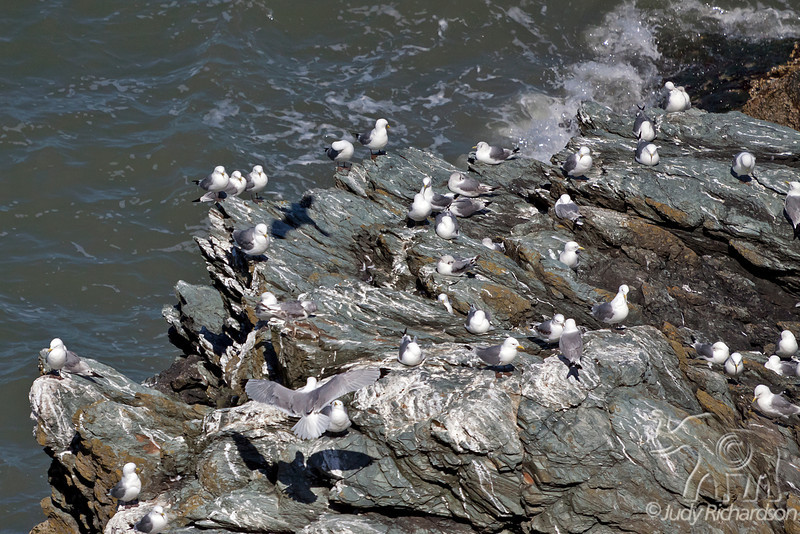 Kittiwake Colony ~ Howth, Ireland