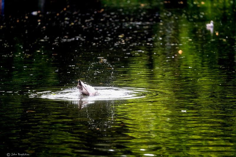 Duck Splash Dublin