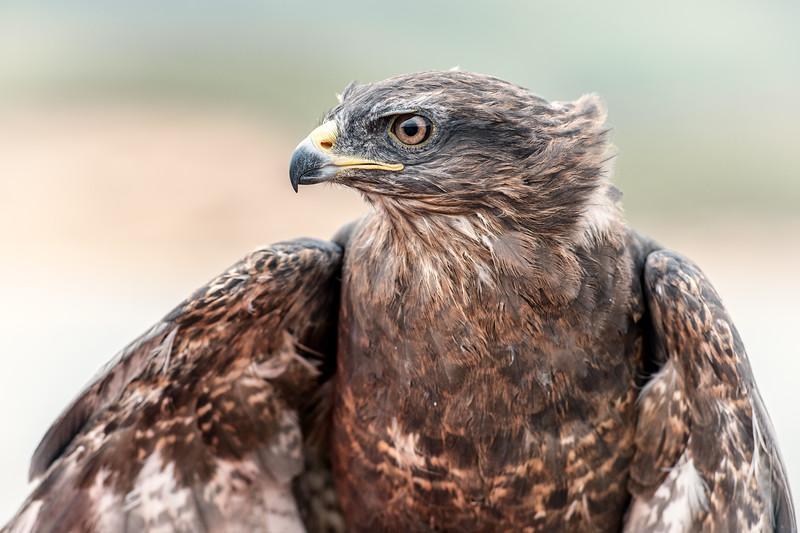Portrait of a buzzard