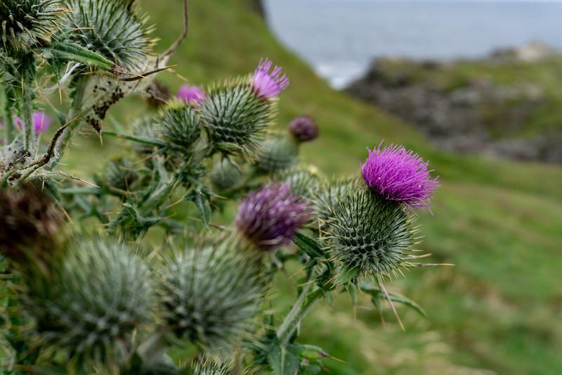 Flowers at Malin Head, Ireland