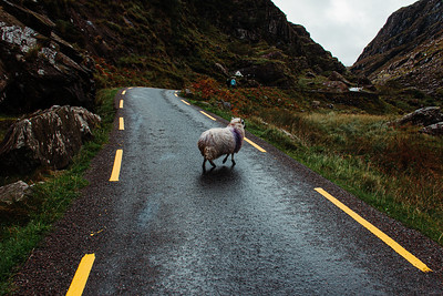 Sheep Crossing the Road on the Gap of Dunloe