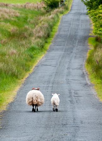 Ewe and Me in Ireland