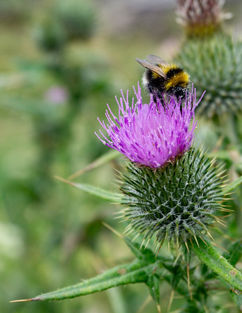 Bee, Malin Head, Ireland