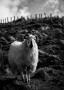 Staredown with the sheep boss