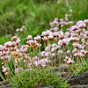 Sea pinks, the ubiquitous Irish coastal flower