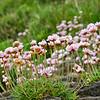 Sea pinks, the ubiquitous Irish coastal flower