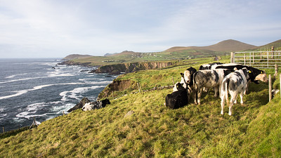 Cows at Dunquin