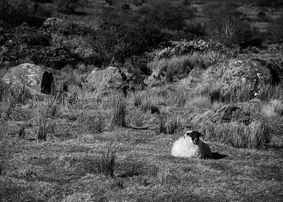Sheep near Kenmare
