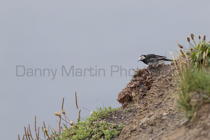 White (Pied) Wagtail<br /> County Clare, Ireland