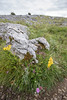 flora<br /> County Clare, Ireland