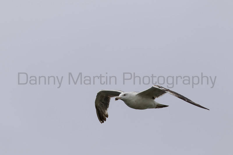 Great Black-backed Gull (?)<br /> County Clare, Ireland