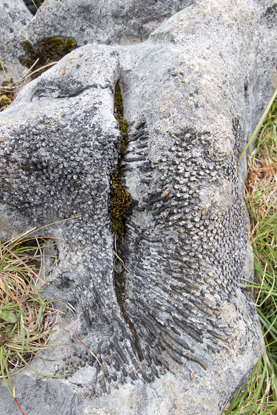 fossil coral (?), The Burren <br /> County Clare, Ireland