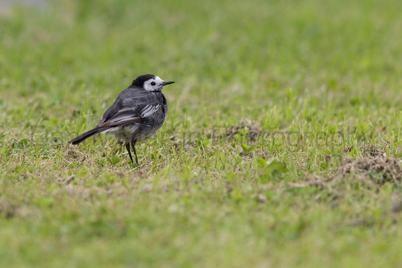 White (Pied) Wagtail<br /> County Tipperary, Ireland