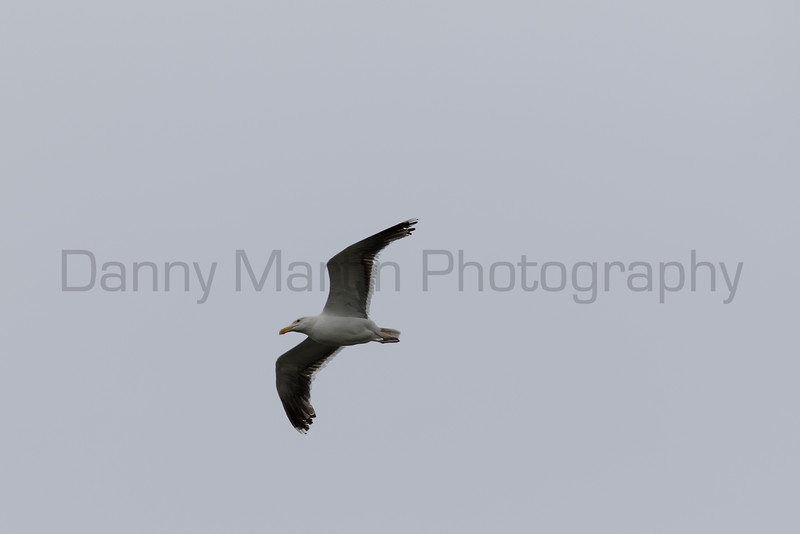Great Black-backed Gull<br /> County Clare, Ireland