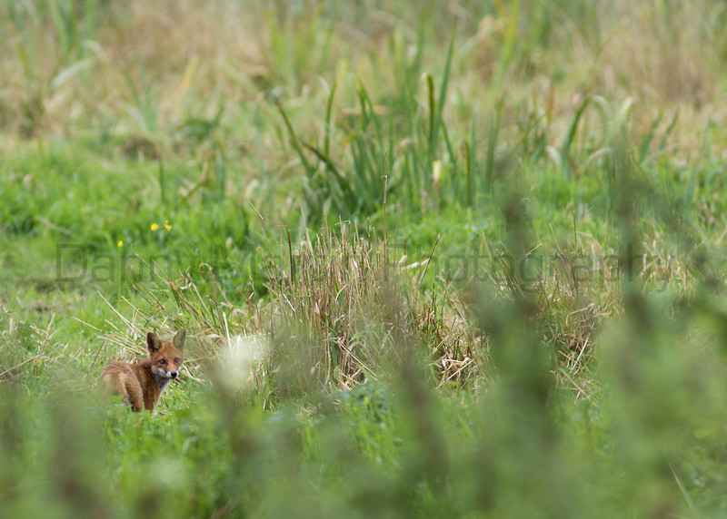 Red Fox, Cabragh Wetlands<br /> County Tipperary, Ireland