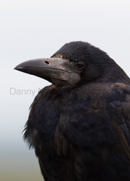 Rook<br /> County Clare, Ireland