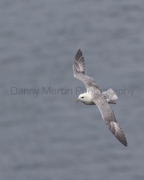 Northern Fulmar<br /> County Clare, Ireland