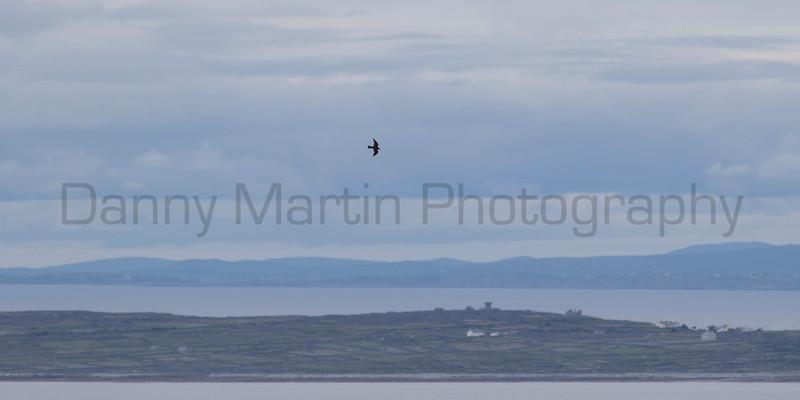 Peregrine Falcon<br /> County Clare, Ireland