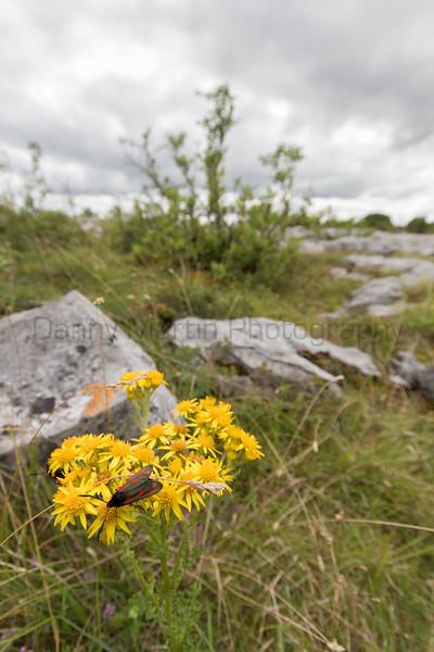 Six-spot Burnet (moth)<br /> County Clare, Ireland