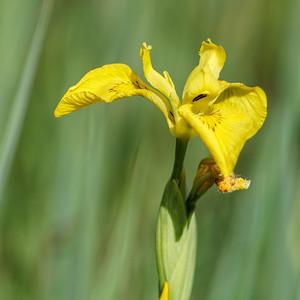 Yellow Iris ~ Gul Iris