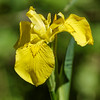 Yellow Iris - Gul Iris