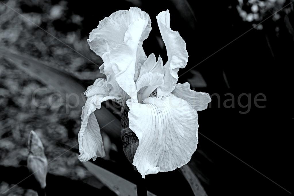 Iris Spirit