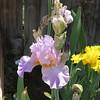Lilac Morning