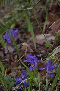 Iris cirstata - Crested Dwarf Iris