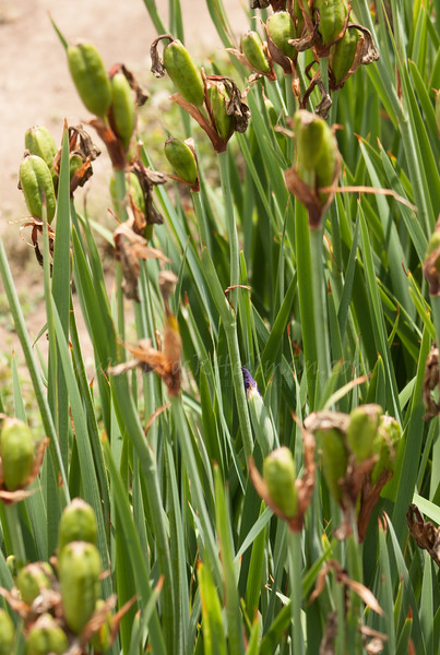 'Encore Performance' repeat stalk among seed pods
