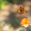 pearl crescent butterfly on Geum 'Totally Tangerine'