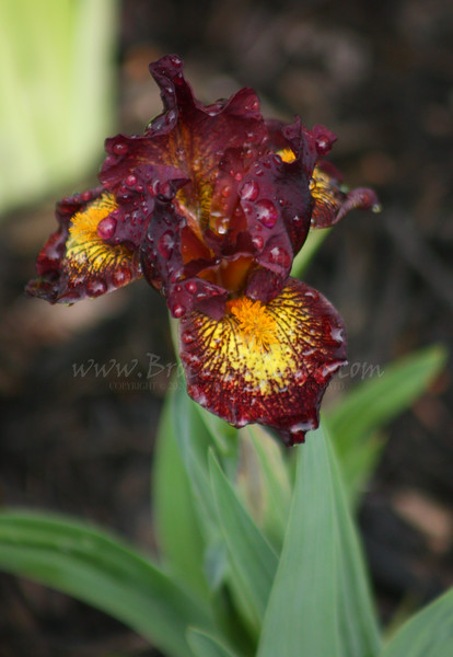 'Ruby Passion'