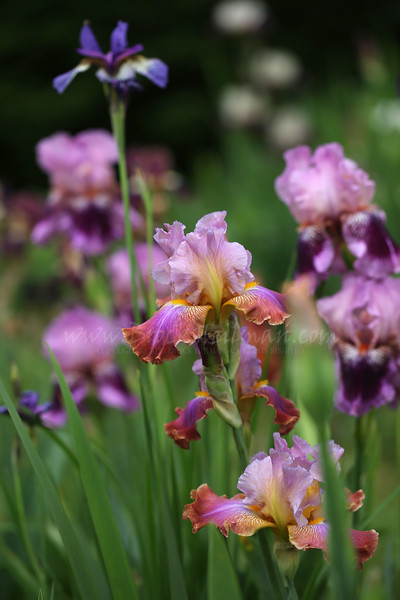 'Minted Halo', 'Shaker's Prayer', and 'Plum Pretty Whiskers'
