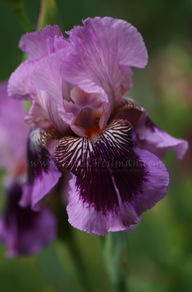 'Plum Pretty Whiskers'