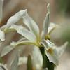 spuria species iris brought to convention hotel by Don Sorensen