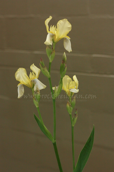 'Flavescens'