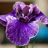 """Copeland seedling """"Yesterday"""" Maiden bloom. In bud when selected for the show."""