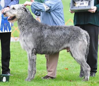 Veteran Dog - Gulliagh Aslan