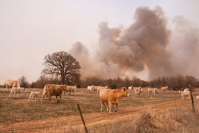 Cattle are not disturbed by nearby flames.