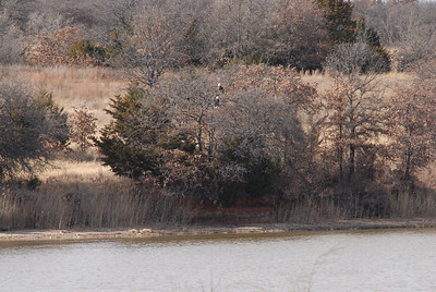 Winter brings Bald Eagles to the ranch and Lake 8.
