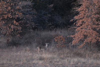 Doe in the woods.