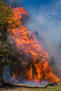Some Cecar Trees ignite rapidly with spectacular flames.