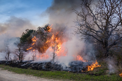 Red  Cedar trees burst into flames