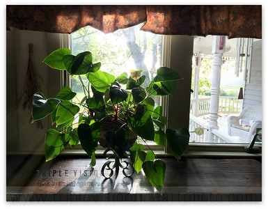 morning+light+anthurium+IMG_49-3553181752-O
