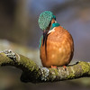 Common Kingfisher - Isfugl