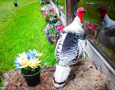 The turkey wants to go inside the restaurant... good that this is an animal sanctuary!